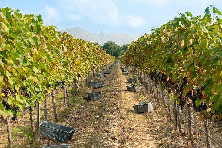 variedades-uva-autoctonas-Mallorca